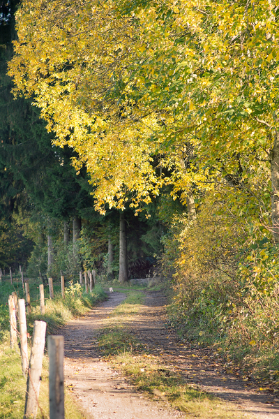 Golden Path: Winding Farm Road through Forest and Meadow. Vivid yellow Autumn Leafs. Shallow DOF.