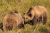 Two Brown Bears meeting