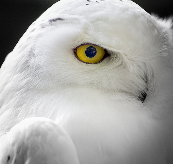 Snow Owl - Eye: Yellow Eye of a Snowy Owl