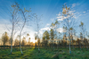 Sunset in young Birch Tree For