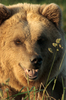 Brown Bear Close Up