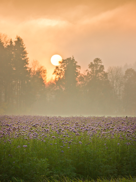 Scorpionweed Field at Sunset, : Scorpionweed Field at Sunset, Misty Atmosphere