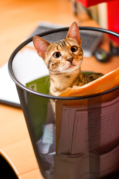 Bengal Cat plying in Recycle B: Young Bengal Cat plying in Recycle Bin :)