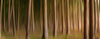 Natural Spruce Forest blurred