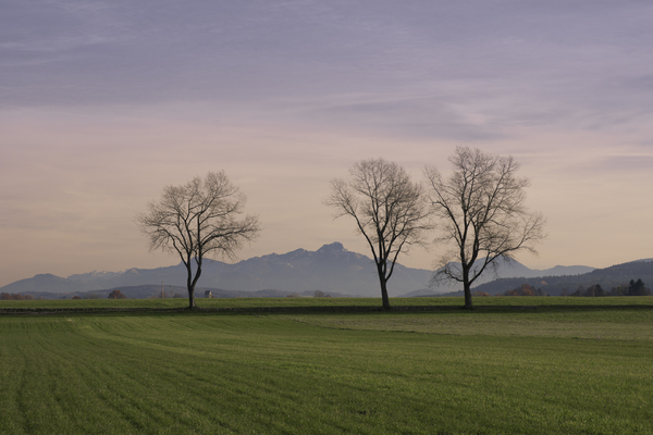 Trees in Fields with Wendelste: Huge Black Poplar Trees in green Fields with Wendelstein Mountains in Background, XXXL image