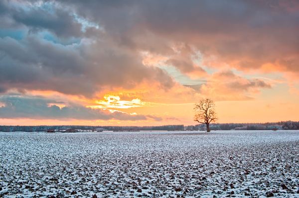 Oak Tree on snowy Fields at Su: Single Oak Tree on icy Farmland  at Sunset, Farm and Forest in Background