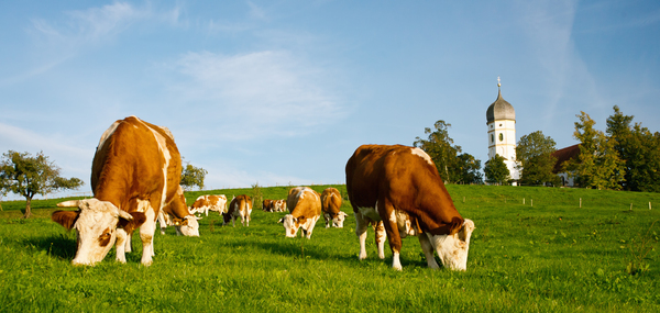 Cows on Meadow: Cows on green Grassland, typical Bavarian Church in Background