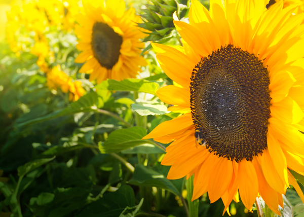 Sunflower-Field: Field of Sunflowers in bright Sunshine, shallow DOF