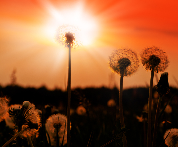 Dandelion at Sunset: Dandelion Blowballs at Sunset
