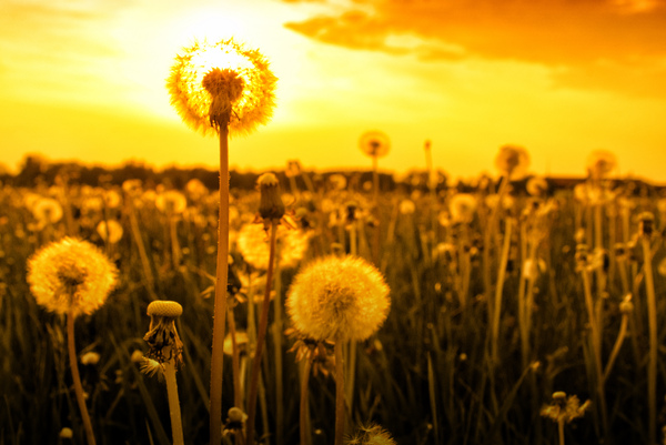 Dandelion at Sunset: Dandelion Flowers - Blowballs at Sunset