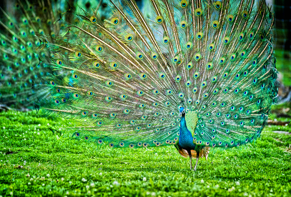 Peacock Couple: Couple of Peacocks doing Cartwheels