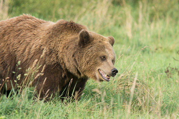Brown Bear looking attentive: Young European Brown Bear looking atentive at something in the Grass