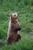 Brown Bear begging for Food