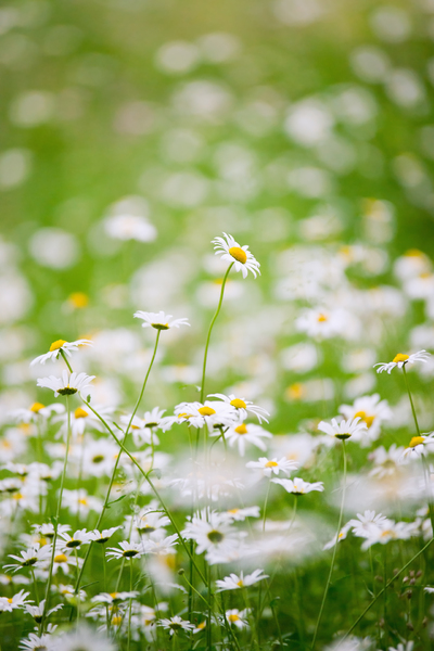 White Daisies in Meadow: Lots of white daisies in Meadow - green Field