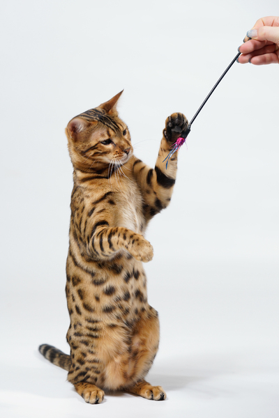 Bengal Cat playing: Bengal Cat playing with Stick, on white Background