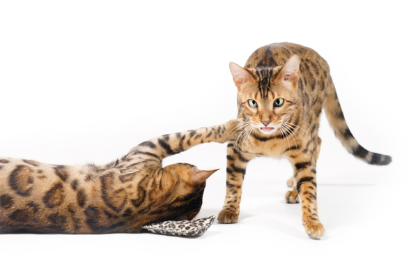 Bengal Cats playing: Bengal Cat lying on very small Pillow, reaching out for other Bengal Cat passing by. Scared looking. On white Background