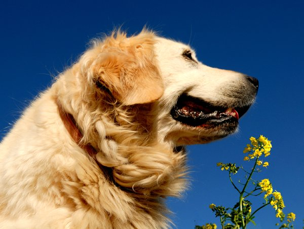 Golden Retriever: no description