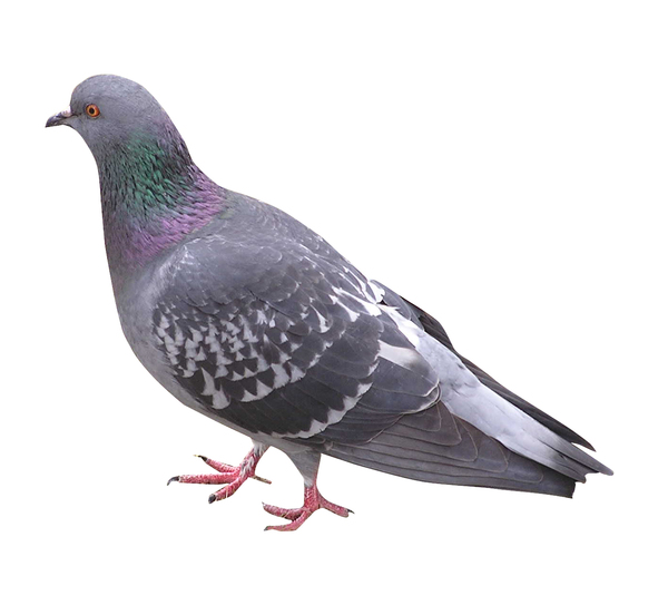 A pigeon: A pigeon isolated.