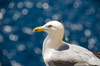 Seagull in Sardinia