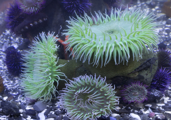 Sea anemones: Sea anemones on the coast of Vancouver Island, Canada.