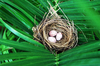 Bird Nest - Bulbul Egg