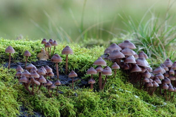 Mushrooms on a log: Mushrooms growing in moss on a old log. Shallow depth of field.
