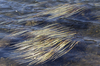 Rippling waterweed