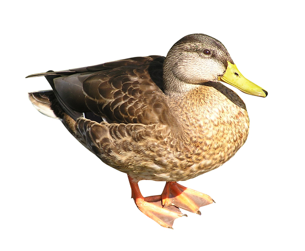 Duck: A beautiful mallard duck. Female.