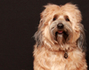 Tibetan Terrier Dog 3
