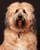 Tibetan Terrier Dog 1