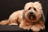 Tibetan Terrier Dog 5