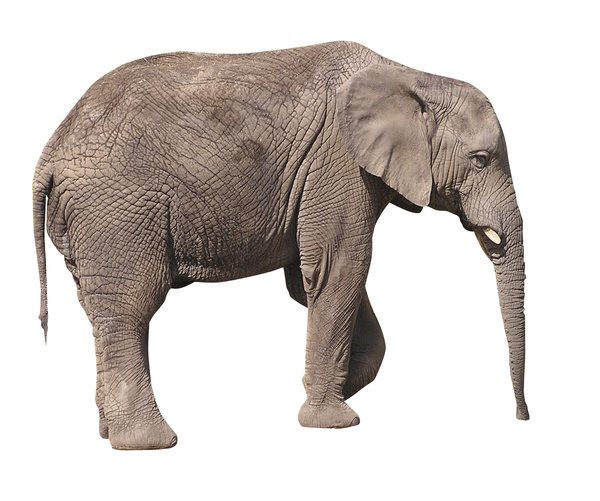 Elephant: Elephant isolated