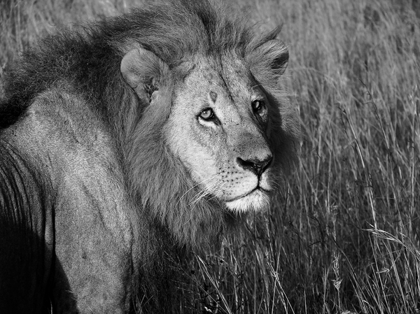 LION: Lion in kenya