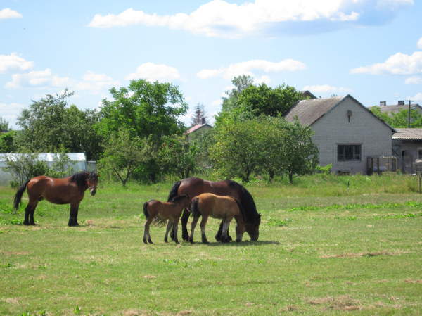 Horses on a pasture: Horses on a meadow.