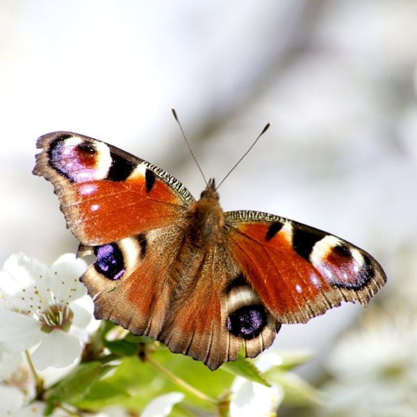butterfly: The butterfly Inachis sp - Very popular in Polnad