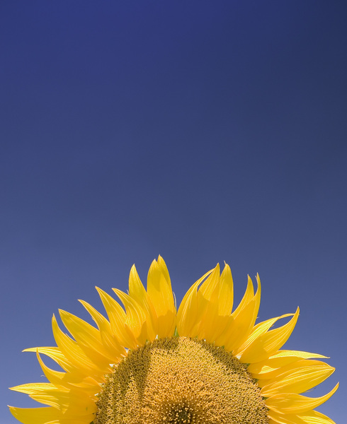 Sunflower Dawn: A sun alike sunflower over a plain blue sky, maybe usefull to put some text on.