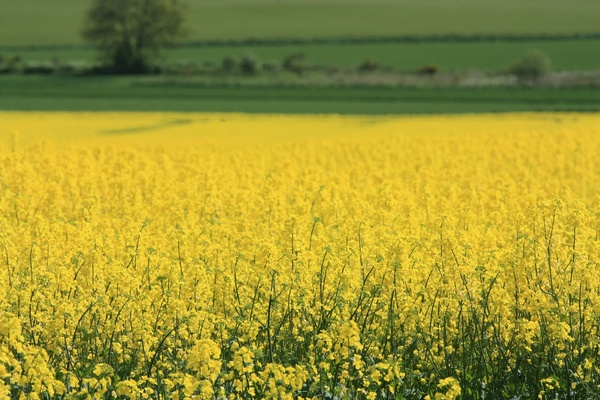 Oil Seed Rape: Oil seed rape plants, view of field/landscape