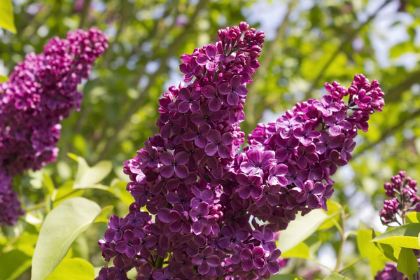 Lilac flowers: Lilac (Syringa) flowers in a garden in England.