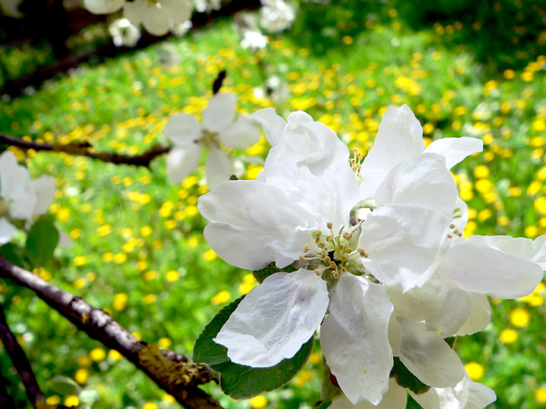blooming apple-tree: blooming apple-tree