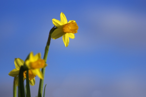Easter daffodils and sky: Easter daffodils in front of a blurred blue sky with clouds