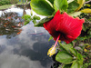 The Hibiscus Pond