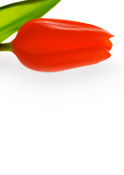 Red tulip: Stationary red tulip design