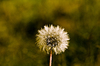 Dandelion to  seed