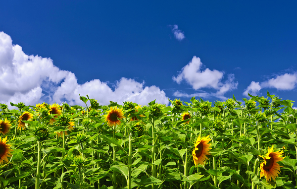 French sunflowers: Picture was taken in the Correze, France.