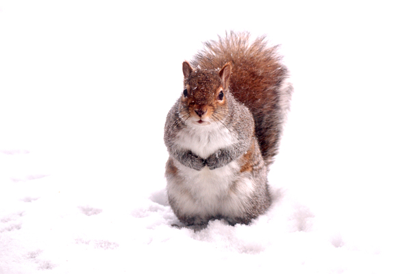 Snow Squirrel: Snow covered squirrel looking for a handout.