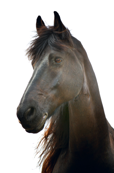 A dark brown horse: horse portrait