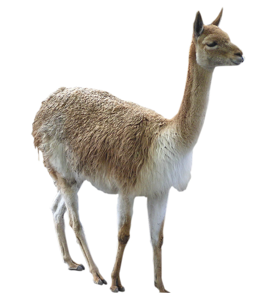 Vicugna: A vicuna isolated.