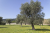 Meadow with olive trees