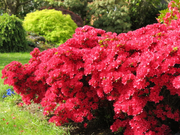red azalea: no description