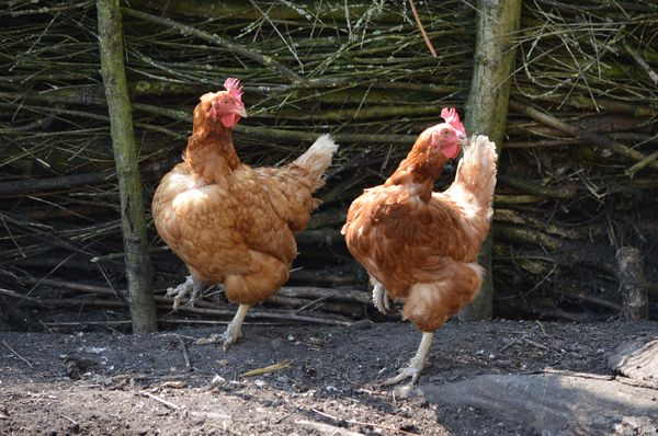 Chicken dance: Two chickens dance for me